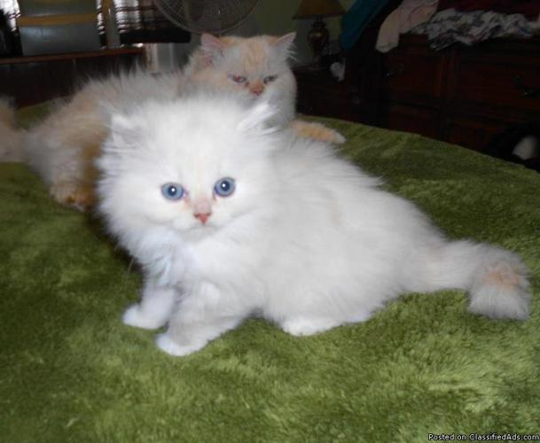 ragdoll kittens available to for ever loving homes