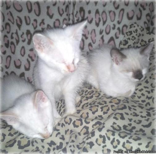 Ragdoll manx bobtail blue eyes kittens