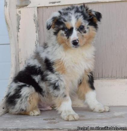 Registered Australian shepherd puppies looking for special homes