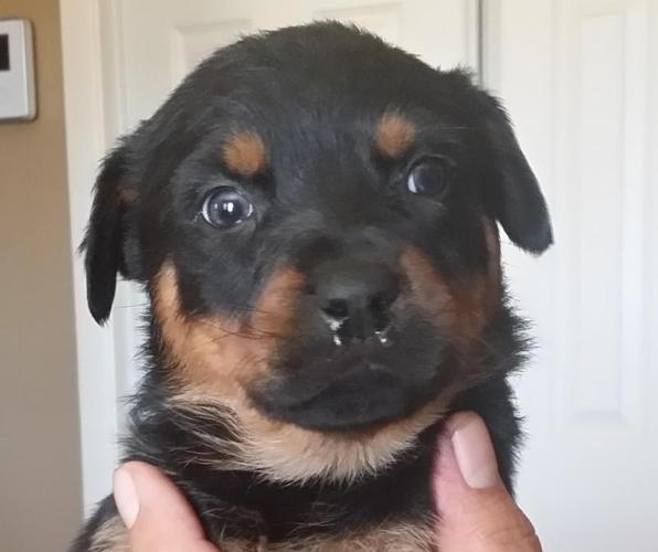 Rottweiler Puppies (Female Pups Only)