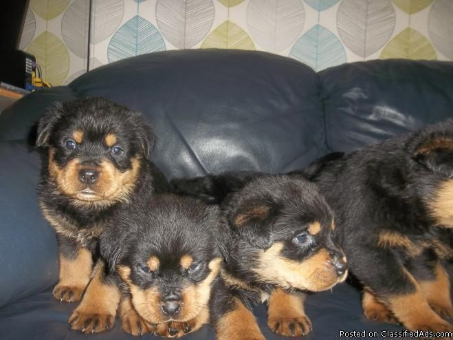 Rottweiler Puppies for adoption for your home