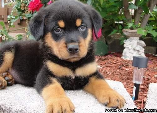 Rottweiler Puppies Need Good Homes