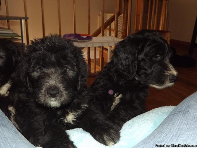 SHEEPADOODLE PUPPIES FOR SALE - Price: 550 00 for sale in