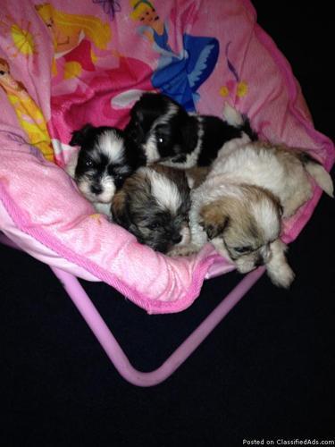 Shih-tzu/Maltese Mix Puppies