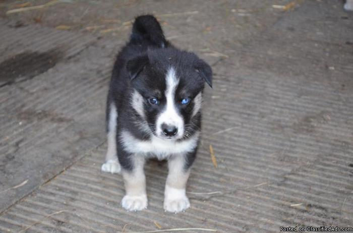 Siberian Husky/Wolf Hybrid Puppies - Price: 700 for sale in Cle Elum