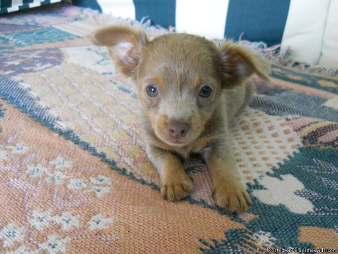 Silver Male Long Coat Chihuahua Puppy