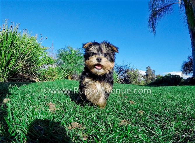 Spunky Personality // Cute ACA Yorkshire Terrier Puppy for Sale