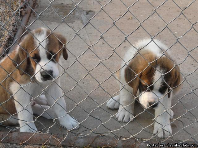 St Bernard Puppies Akc Price 50000 For Sale In Waupun