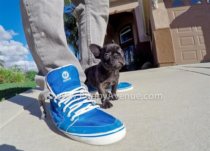 Stunning Female Frenchie Puppy // Best Personality!