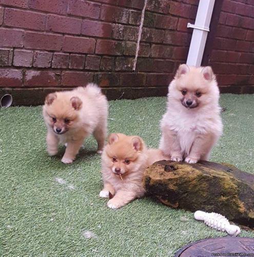 Summer Girl is truely adorable Kc Pomeranian Girl Need Love