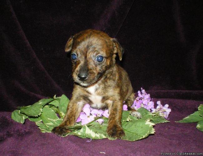Teacup Chorkies Chihuahua Yorkie Hybrid Designer Puppies Price