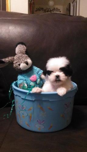 teacup male Shih Tzu puppies