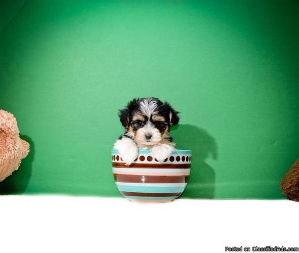Teacup morki puppy