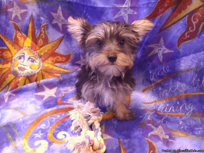 Teacup Yorkie Pups babydoll faces 2 beautiful males left ckc 15wks