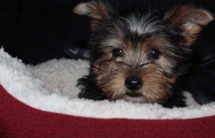 Teacup Yorkie teddy bear face pups