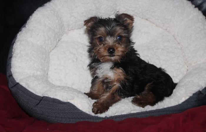 Teacup Yorkie & Toys Teddy Bear Faces 2 months and up pups