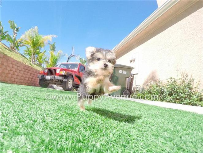 Tiniest Female Morkie Hybrid Puppy for Sale // Maltese x Yorkie