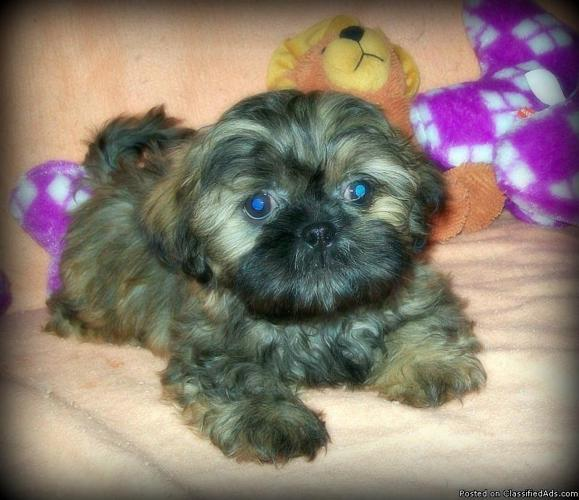 Tiny Imperial Shih Tzu Puppy Female Price 600 For Sale In