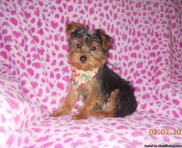 Tiny Male Yorkshire Terrier (Yorkie) Puppy for sale - Price: 750