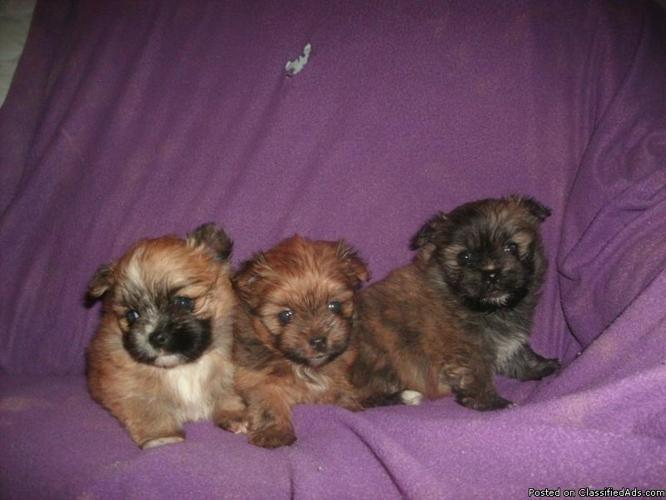 TINY SHIHPOM BABIES . THEY ARE TOO CUTE !!!!!!!