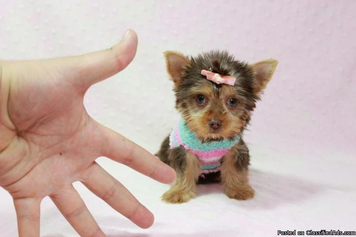 Tiny Teacup Puppies For Sale in Las Vegas! *Financing Available!*