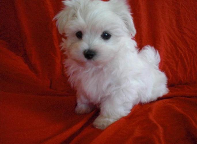 Toy Maltese Puppy