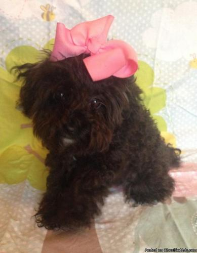 Toy Poodle Puppy (black/brown)