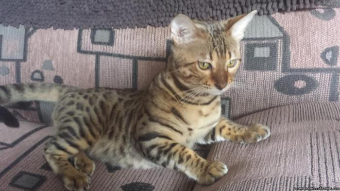 Two Bengal kittens for sale
