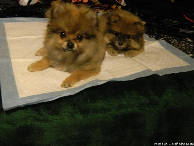 Two Female Pomeranian Puppies for Sale