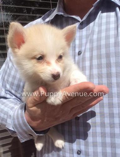 Unique Pomsky Puppy for Sale // Cream Pomeranian x Husky Mix
