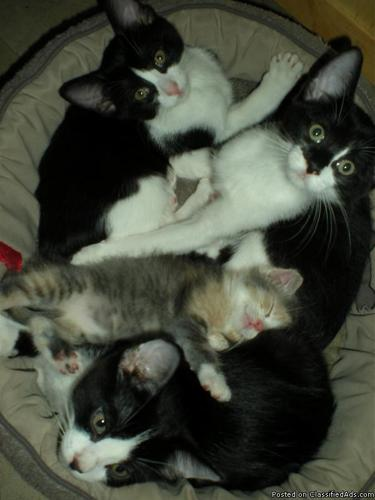 URGENT Need homes now LAP KITTENS * GORGEOUS RAGDOLL MIX