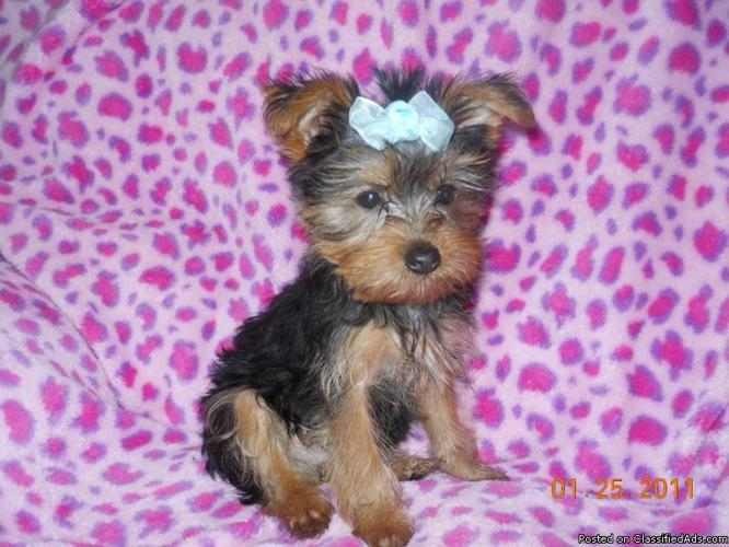 Valentine's Day Gift Tiny Pure Breed Male Yorkshire Terrier (yorkie) Puppy for Sale - Price: $750