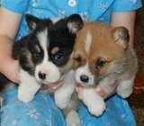 Well Trained Pembroke Welsh Corgi Puppies -