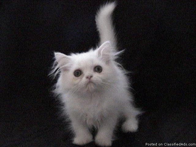 white blue eyed persian teacup male kitten kittens brooklyn new york