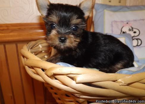 Yorkshire Terrier Silver 4 beautiful female puppies... Blackburn