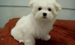 %100 Pure Breed Maltese Pups, they are perfect in health and come with all health paprers CONTACT (313) 723-5160 FOR MORE INFO AND PICS