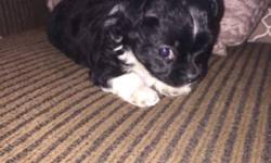 Beautiful 10 week old female Shichi. Her mother was a Shih tzu and her daddy Chihuahua. The puppy has had all her shots and does extremely well around other dogs. Included with the puppy is her soft sided bed and her very own crate. All records And