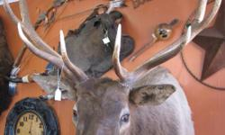"""12 Point (6 x 6) """"Bull Elk"""" Taxidermy Mounted  in Excellent Condition 50 W x 55 D (Compare the size of the """"head"""" to the saddle on the wall, (upper left of photo)next to him!)  CONTACT US RE: SHIPPING CHARGES PRIOR TO PURCHASING!  Like"""