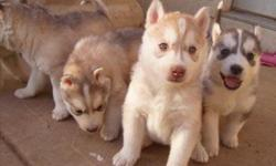 12 weeks siberian huskies puppies for adoption. Wormed, micro chipped, and vet checked. Raised in our family home with my 2 year old son and older dogs and cats. The puppies are trained on puppy pads and are used to staying in a puppy pen whilst we are