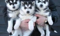 male and Female Siberian husky puppies for you to rehome now.They are 12 weeks old.Great pup, very healthy and charming.They are current on shots AKC registered and will come with papers. If you are interested JUST CALL OR TEXT (915) 400-6439 for more
