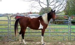 Beautiful tri colored half Arab mare, trained and trail ridden, eager and willing. Spirited. Could use as brood mare, trail horse, endurance horse or possible hunt jump.