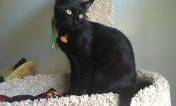 Yo is an incredibly affectionate young male cat. He would do well with a family or an owner with another socialized cat. He is one year and four months old, up to date with 3 year Rabies and 3 year FVRCP vaccinations. He has recently received a wellness