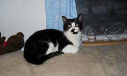 Bandit is a loving 1 year old male tuxedo cat that was rescued as a kitten. He is very good with other cats and Loves to be patted. Looking for a loving family to take care and love him.
