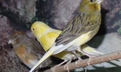 I have three 2015 hatched canaries for sale. Two males and one female. the males are excellent singers. I am asking $50 each. call or text, (931) 335-0504