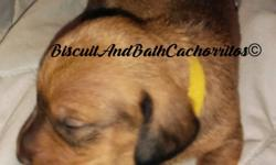 2 beautiful male miniature dachshunds now taking non-refundable deposits to hold your baby they will be ready to go to there new home on sept 8th will have first set of shots and deworming