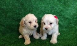 Maltipo For Sale -are 8 weeks -I have 1 males and 1 females -tail are cut -and eat alone -are very clean, adorable and playful -are healthy ?????????We sell at 280 dollars??????????? - We live in Moreno Valley 92553 -For more information call 951-221-2875