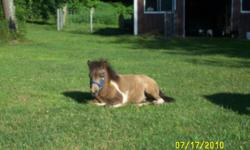 1 seven yr old sorrel female miniature horse and 1 9 month old brown, white, tan miniature horse