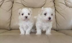 2 8 week old maltese puppies for sale. Both are males. Extremely friendly and need to be placed in a loving and caring home asap since we do not have the space for them anymore.