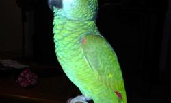 """""""Lucy"""" is a 2 yr old blue fronted amazon. Unfortunately I took a new possition and I'm gone 12 hrs a day. Its not fair to her to be stuck in cage that long, she needs more attention then I can give. She knows a handful of words, like good morning, step"""