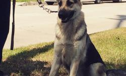 This big sweet 2yr old female shepherd would make a great addition to your family. She has some obedience training and she is FIXED. She will come with a current health check before she is sold. Please call Lou at 310-363-2077.